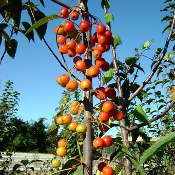 Crabapple Fruit